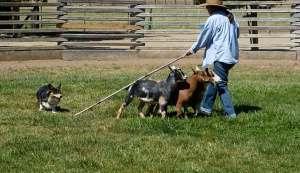 Ranger the Corgi herding goats.