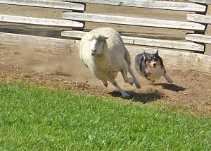 Ranger the Corgi and a sheep.