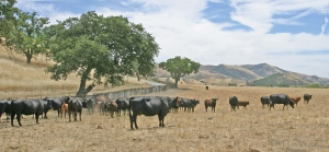 Cattle in Paicines