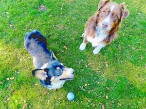 Corgi and Border Collie friends