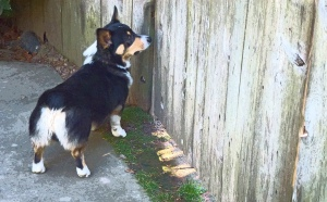 Ranger the Corgi at the Neighbor's gate