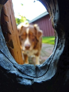 Seina the Border Collie through the hole in the gate.
