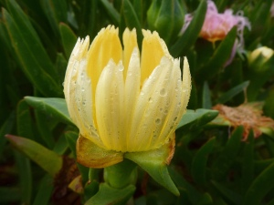 Yellow ice plant flower in the rain