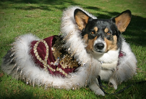 Santo Corgi in full partial regalia.