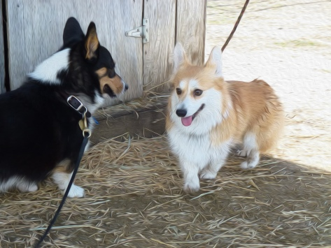 Ranger and Gwin the corgis, on their first date. Marking time and the barn corner at Oak Hills Ranch. Good times!