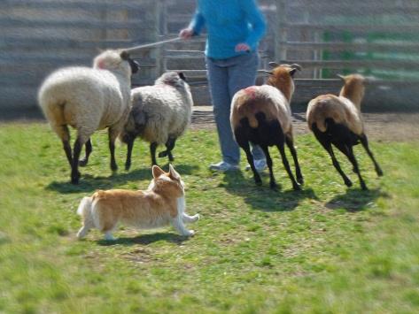 The lovely Gwinny, Ranger's corgi girlfriend, herding sheep.
