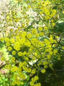 Acacia blossoms dotted the Carmel trail. They're a very yellow, sneezy flower.