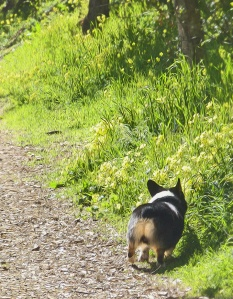 Umm, nice. Corgi sniffs along the spring trail's tall grass.