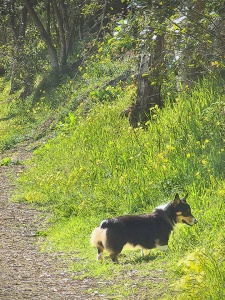 For corgis most of the best smells are conveniently located at nose level and right along the trail, often in the tall grass…