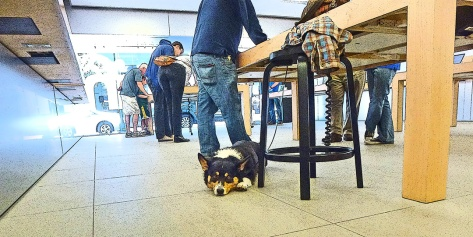 Ranger the Corgi at the Apple Store.