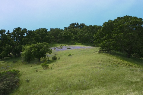 Fort Ord hillside with a dusting of lupines.