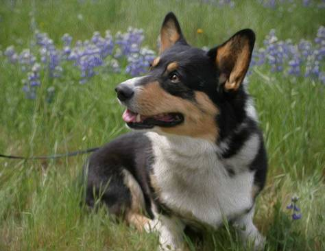 "Little portrait of me, Ranger the Corgi, and the lupines at Fort Ord.  Photoshop ""oil painting"" of  handsome me and the lupines.<br />Pappy Snack Pockets, is that a biscuit you've got there?<br />(All photos and digital paintings on Ranger's blog by Elise Huffman.)"
