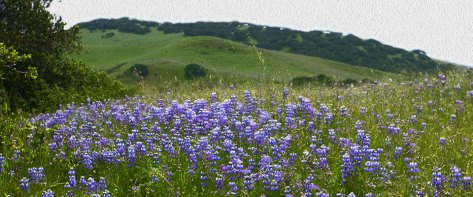 Lupines on the hillside at Fort Ord National Park.