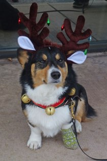 0982companion_ehuffman, Ranger in holiday antlers and jingle bells sits outside the vet's office with a unhappy expression. Get these decorations off me!